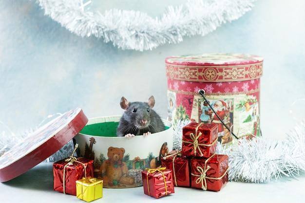 Niedliche kleine graue ratte, maus sitzt in der festlichen geschenkbox. Premium Fotos