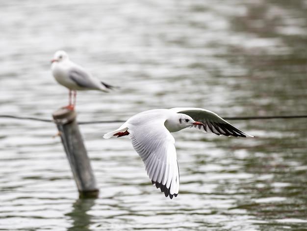 Niedliche weiße europäische silbermöwe, die frei über den see fliegt Kostenlose Fotos