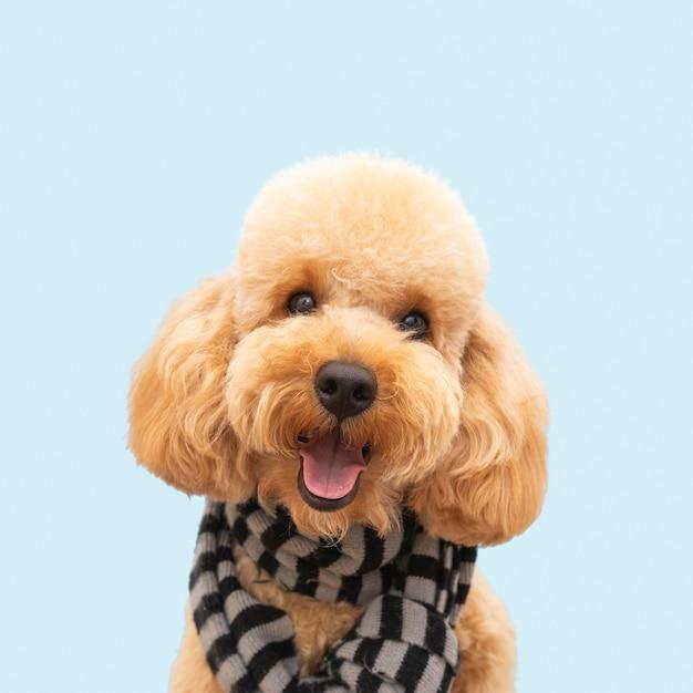 Niedlicher hund der vorderansicht mit schal Premium Fotos