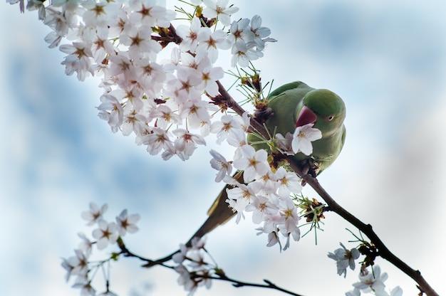 Niedriger winkelschuss eines grünen papageis, der auf einem zweig der kirschblüte ruht Kostenlose Fotos