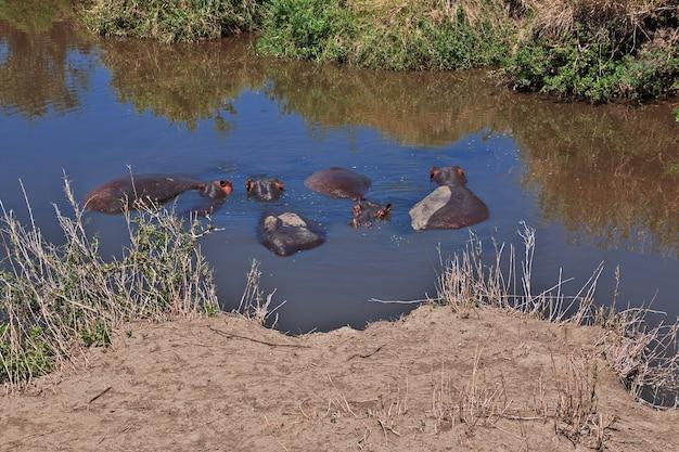 Nilpferd, nilpferd auf safari in kenia und tansania, afrika Premium Fotos