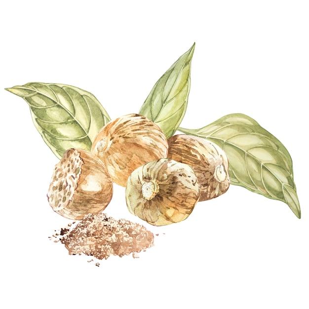 Nutmeeg. aquarell hand gezeichnete abbildung. botanische illustration, die regale betrachtet Premium Fotos