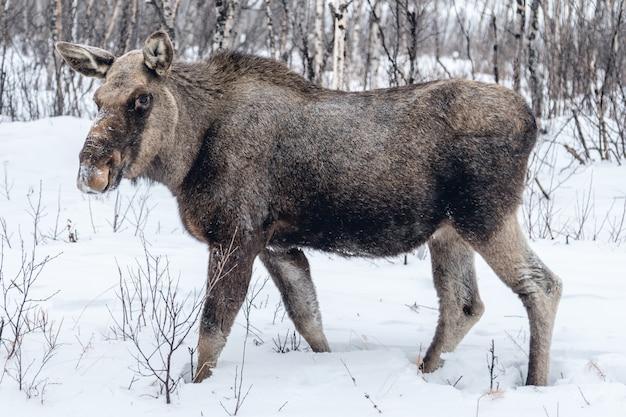 Nutztier, das einen spaziergang auf der verschneiten landschaft in nordschweden macht Kostenlose Fotos