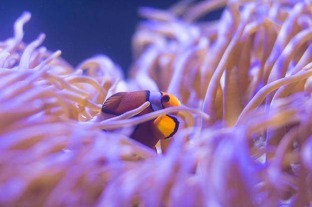 Ocellaris-clownfisch, clown-anemonenfisch, clownfisch, falscher percula-clownfisch Premium Fotos