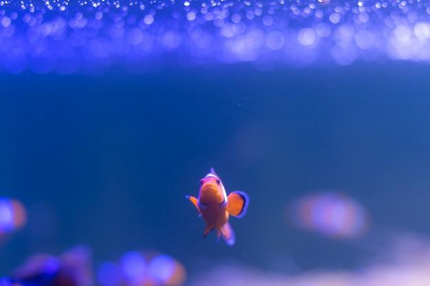 Ocellaris-clownfisch Premium Fotos