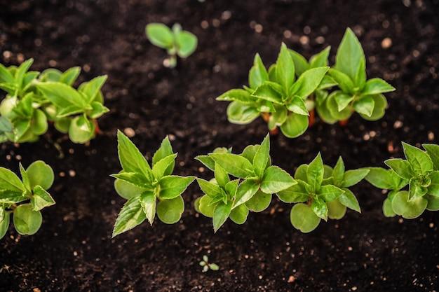 Ökologie. der sämling wächst aus dem reichen boden. jungpflanzen in der kindertagesstättenplastikschale am gemüsebauernhof. close up draufsicht Premium Fotos