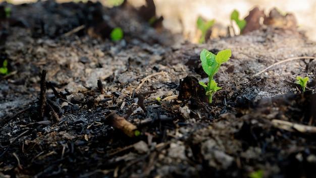 Ökologie- und umweltbaumwachstum in der waldfläche, die verheerendes feuer gebrannt wird Premium Fotos