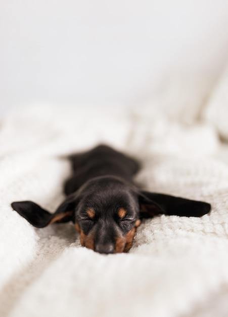 Österreichischer black and tan hound welpe schläft Kostenlose Fotos