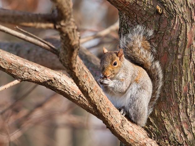 Östliches graues eichhörnchen, das auf einem ast sitzt, der nüsse isst Kostenlose Fotos