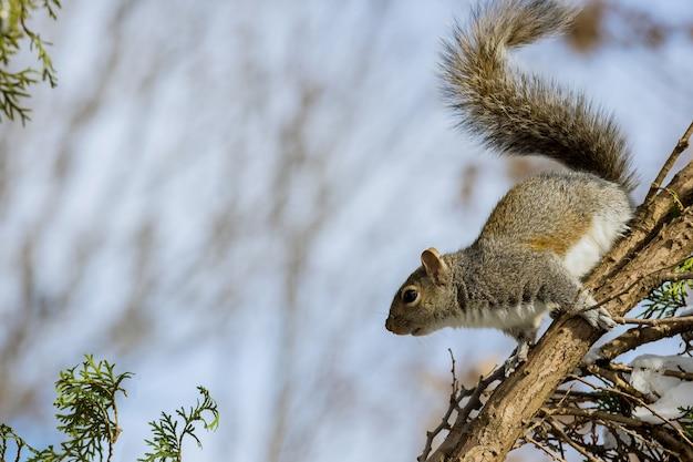 Östliches graues eichhörnchen im winter der natürlichen umgebung in einem waldpark Premium Fotos