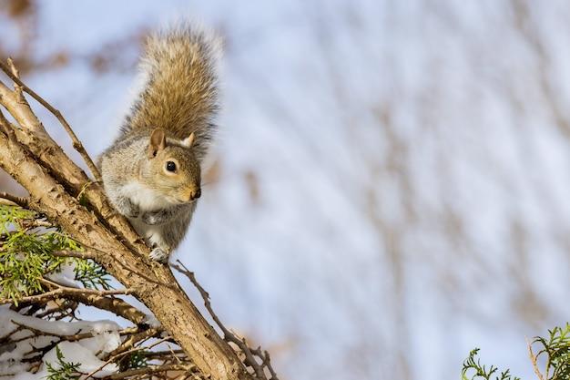 Östliches graues eichhörnchen mit nüssen im winter im parkwald Premium Fotos