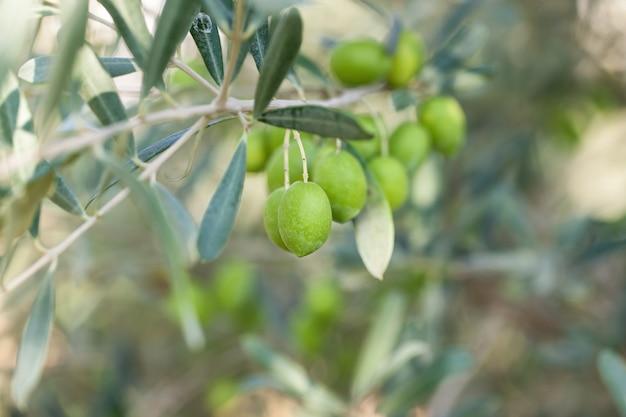 Oliven auf olivenbaum mit bokeh. Premium Fotos