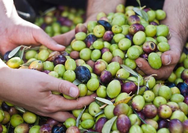Oliven in vier händen Premium Fotos