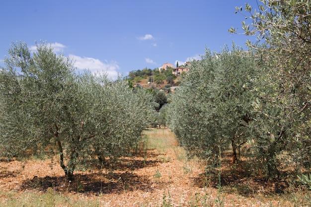Olivenbäume Kostenlose Fotos