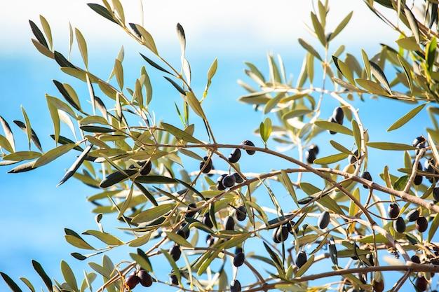 Olivenbaum mit blättern Premium Fotos