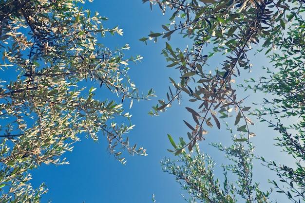 Olivenbaum Premium Fotos