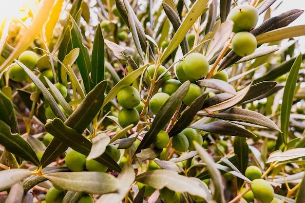 Olivenzweige voller früchte des baumes. Premium Fotos