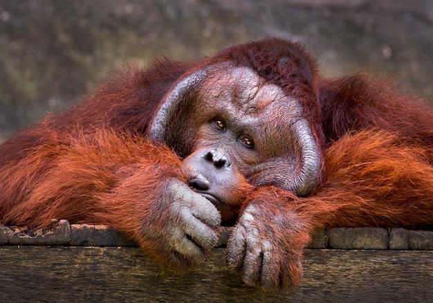 Orang-utan, der in der natürlichen atmosphäre des zoos sich entspannt. Premium Fotos