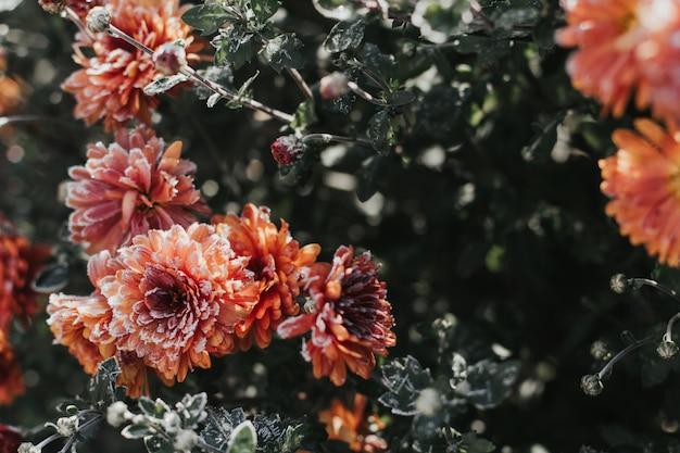 Orange chrysanthemenblumen bedeckt mit reif Premium Fotos