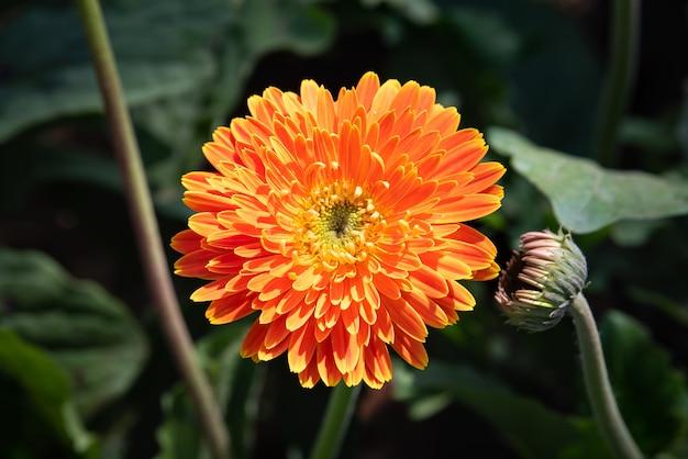 Orange gerberablume, die mit sonnenlicht im garten blüht Premium Fotos