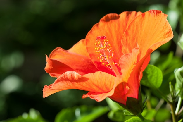 Orange hibiscusblume Premium Fotos