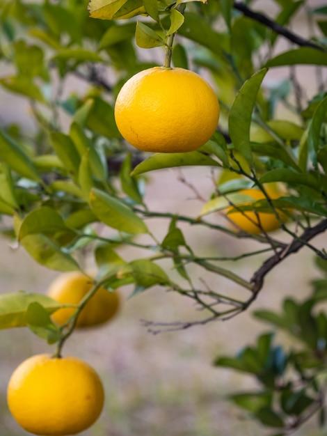 Orange ist eine vitaminreiche frucht. Premium Fotos