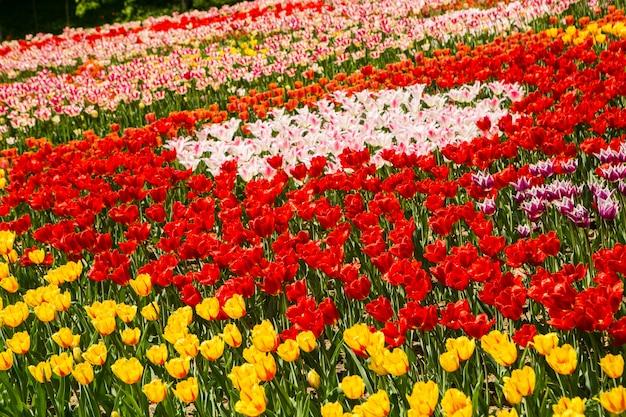 Orange und gelbes tulpenfeld Premium Fotos