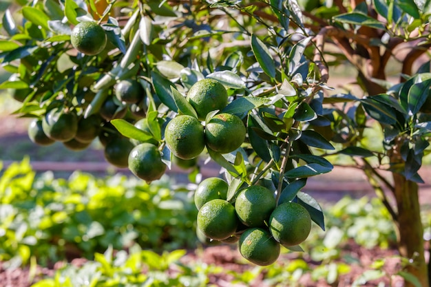 Orangenbaum - orangenbauernhof im fangbezirk bei chiang mai, thailand Premium Fotos
