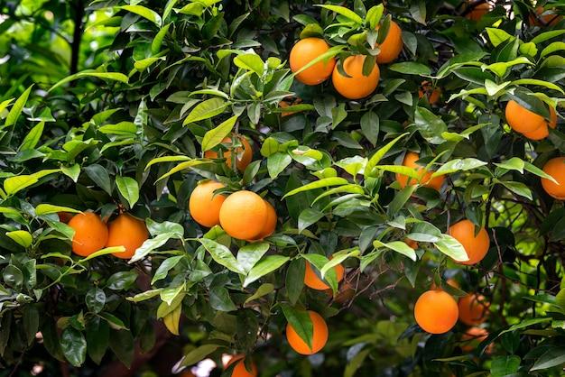Orangenfrucht auf den bäumen Premium Fotos