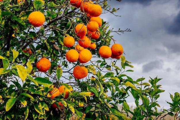 Orangenplantagen Premium Fotos