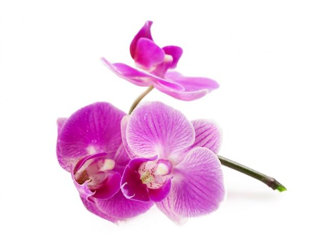 Orchidee getrennt auf weiß Premium Fotos