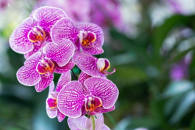 Orchideenblume im orchideengarten am winter- oder frühlingstag für schönheits- und landwirtschaftskonzeptdesign. phalaenopsis orchidaceae. Premium Fotos