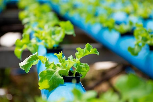 Organisches gree eichengemüse im wasserkulturbauernhofsystem bei tome, indem diy wasserleitungen verwendet werden. Premium Fotos