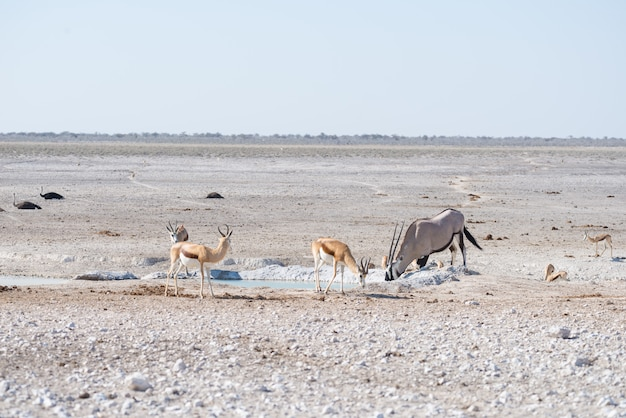 Oryx, der in der afrikanischen savanne, der majestätische etosha-nationalpark, bestes reiseziel in namibia, afrika steht. Premium Fotos
