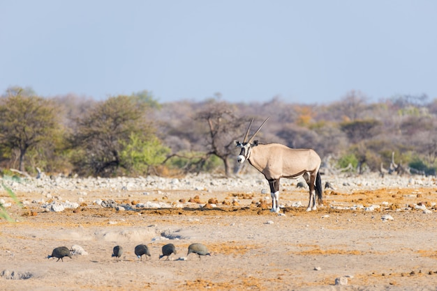 Oryx, der in der bunten landschaft des majestätischen nationalparks etosha, namibia, afrika steht. Premium Fotos
