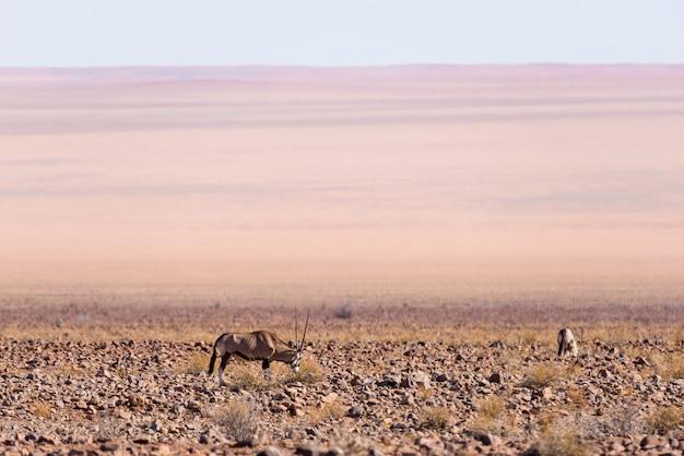 Oryx, der in der namibischen wüste, nationalpark namib naukluft, namibia, afrika weiden lässt Premium Fotos
