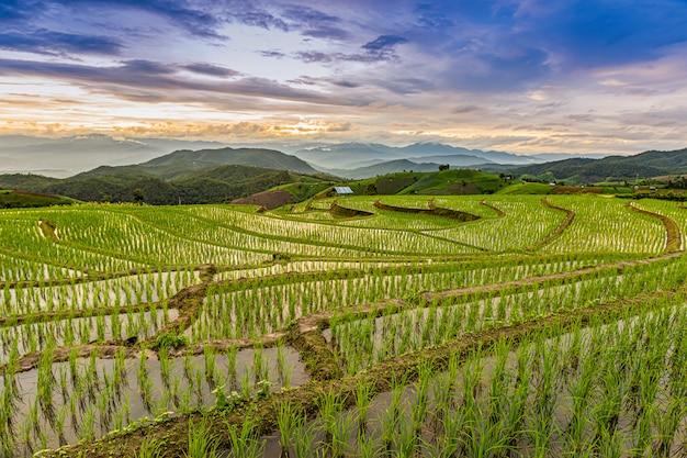 Pa bong piang rice terraces in der regenzeit, chaingmai, thailand Premium Fotos