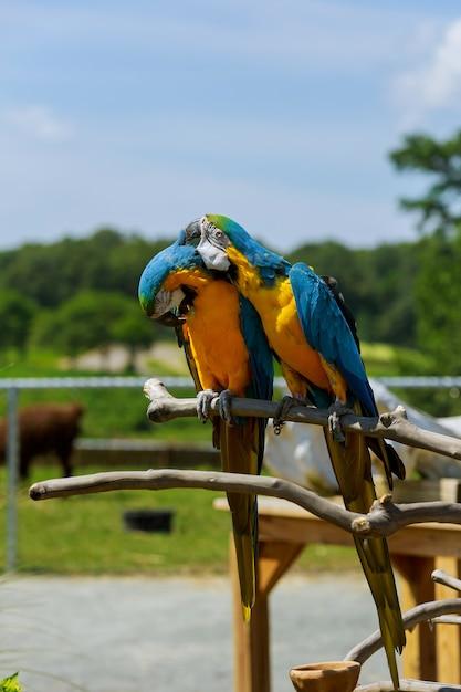 Paar ara papageien in freier wildbahn zwei papageien erzählen geheimnisse Premium Fotos