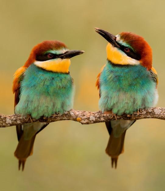 Paar bienenfresser auf einer niederlassung Premium Fotos