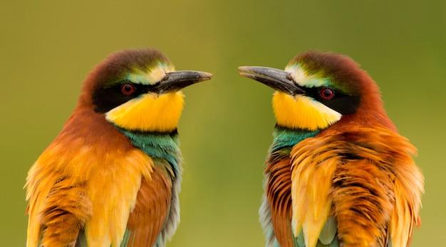 Paar bienenfresser Premium Fotos