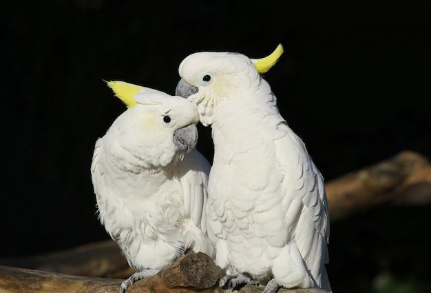 Paar weiße papageien im zoo Premium Fotos