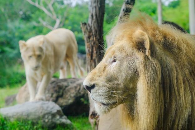Paare der erwachsenen löwen im zoologischen garten Premium Fotos
