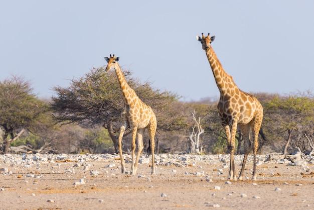Paare der giraffe gehend in den busch auf der wüstenwanne, tageslicht. wildlife safari im etosha national park, dem hauptreiseziel in namibia, afrika. Premium Fotos