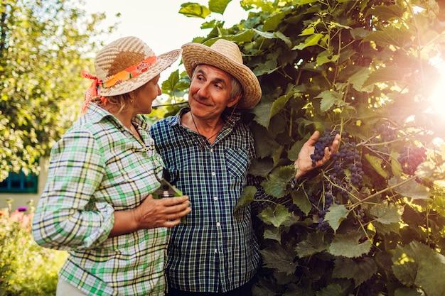 Paare von den landwirten, die ernte von trauben auf ökologischem bauernhof überprüfen. glücklicher älterer mann und frau erfassen ernte Premium Fotos