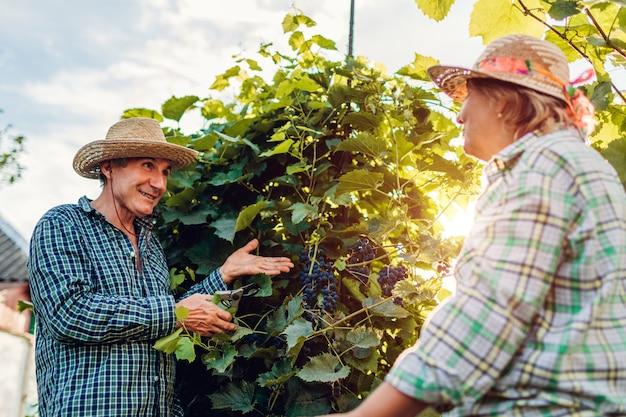 Paare von den landwirten, die ernte von trauben auf ökologischem bauernhof überprüfen. Premium Fotos