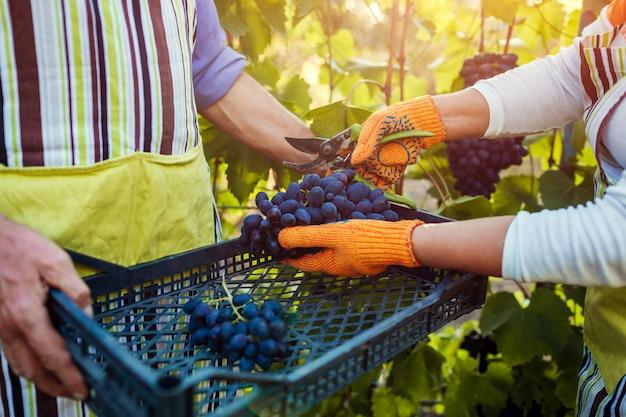 Paare von landwirten erfassen ernte von trauben auf bauernhof, glücklichem älterem mann und frau, die trauben in kasten einsetzt Premium Fotos