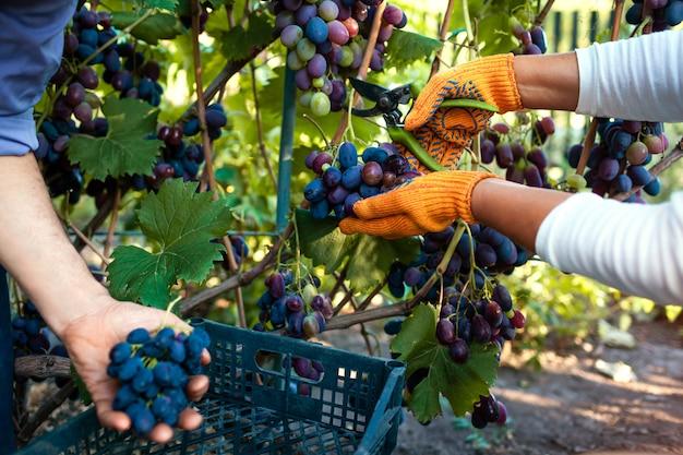Paare von landwirten erfassen ernte von trauben auf ökologischem bauernhof. Premium Fotos