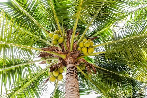 Palmen mit kokosnuss am strand. Premium Fotos