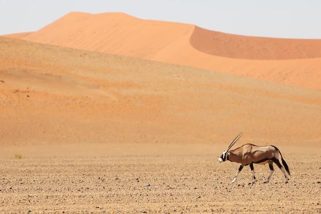 Panoramaaufnahme eines spießbocks, der durch die wüste mit sanddünen im hintergrund geht Kostenlose Fotos