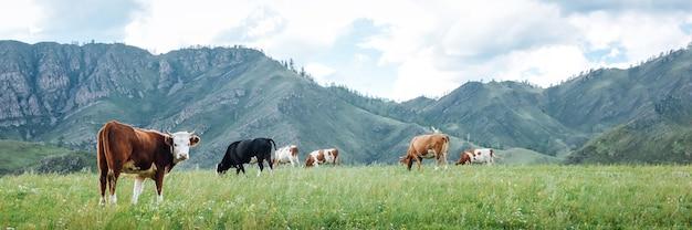 Panoramablick auf die natürliche weide der kühe auf grünen wiesen in den bergen Premium Fotos